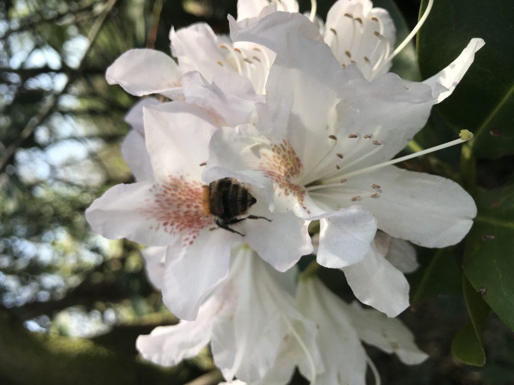 Kirschblüten mit Biene